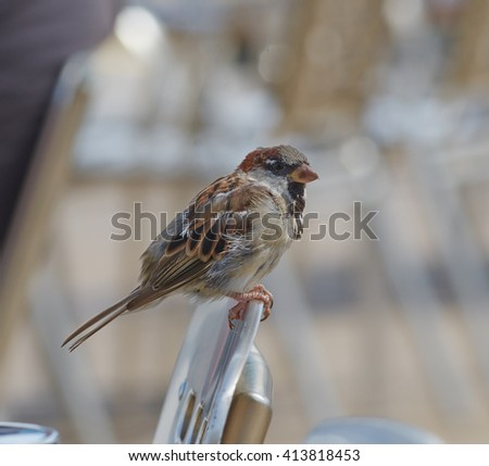 European sparrow sitting on top of a chair