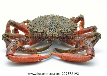 European spider crab, spiny spider crab or spinous spider crab. Maja squinado isolated in white background