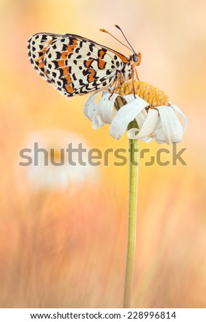 European Spotted Fritillary or Red-band Fritillary at a Marguerite Flower Field - stock photo
