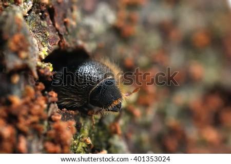 European spruce bark beetle Ips typographus - stock photo