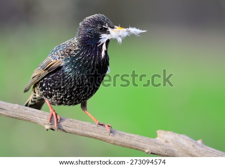 European starling on the branch - stock photo