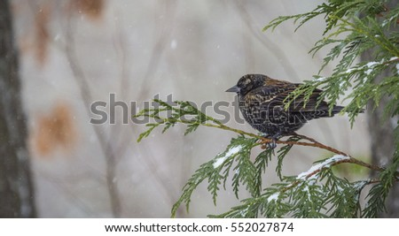 European starling perched on limb of evergreen as snow falls.