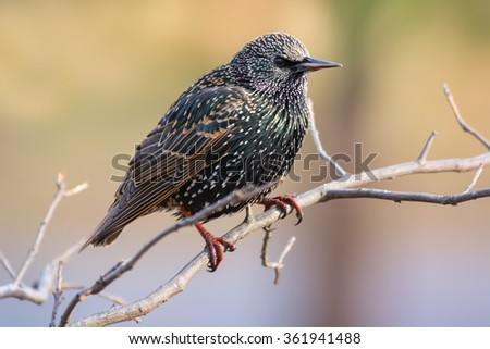 European starling resting on a small tree. - stock photo