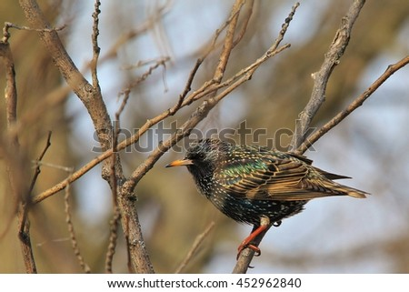 European Starling - Wild Birds from America - Beautiful Colors in Nature - stock photo