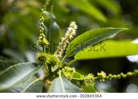 European Sweet Chestnut and flowers closeup (Castanea sativa). - stock photo