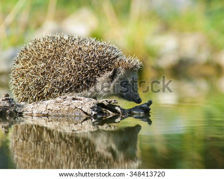 European thirsty hedgehog (Erinaceus europaeus) - stock photo