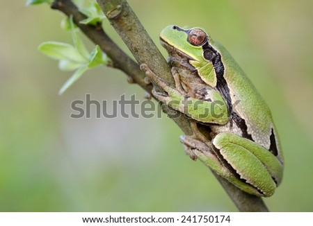 European tree frog - stock photo
