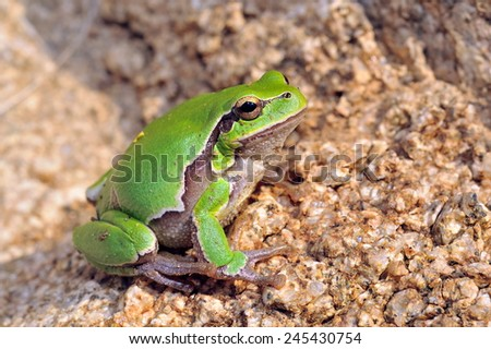 european tree-frog (Hyla Arborea) - stock photo