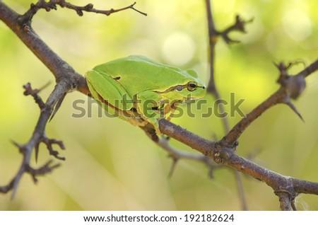 European tree frog Hyla arborea among branches sitting - stock photo