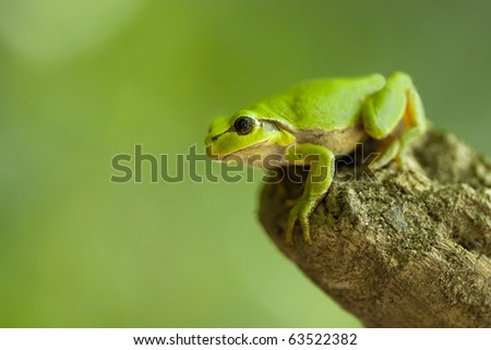 European tree frog (Hyla arborea), Boomkikker - stock photo