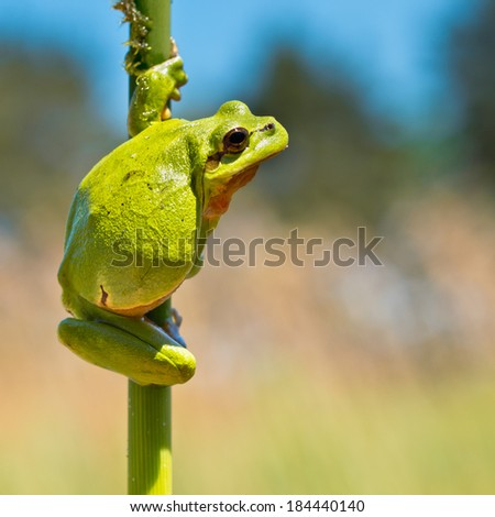 European Tree Frog (Hyla arborea) climbing in a Twig of Reed in its Natural Habitat - stock photo