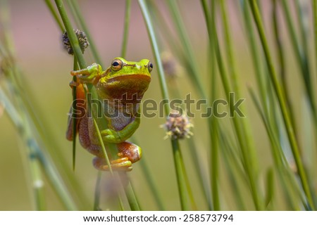 European tree frog (Hyla arborea) climbing in common rush (juncus effusus) - stock photo