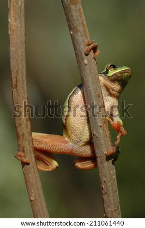 European tree frog (Hyla arborea formerly Rana arborea) sitting on a twig - stock photo