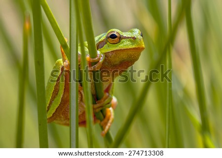 European tree frog (Hyla arborea) looking from behind common rush (juncus effusus) into the camera - stock photo