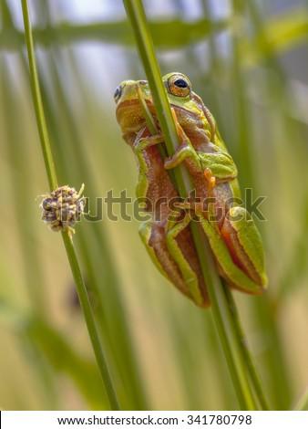 European tree frog (Hyla arborea) perched in common rush (juncus effusus) - stock photo