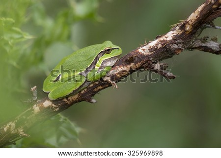 European Tree Frog (Hyla arborea) perched on a dead Branch - stock photo