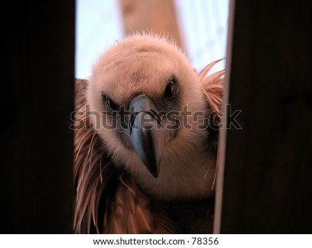 European vulture looking inside