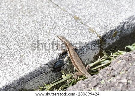 European wall lizard (Podarcis muralis) sunning - stock photo
