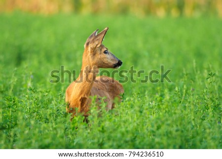 European western roe deer,  Capreolus capreolus, beautiful roe in nature habitat, roe portrait with antler, golden animal on a green meadow, hunting animals, Wildlife scene from the nature habitat