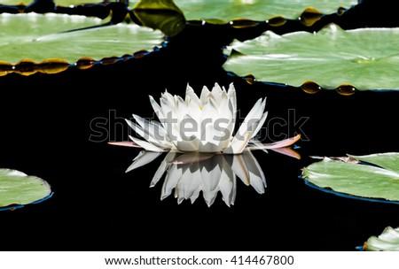 European white water-lily (Nymphaea alba) blossom - stock photo