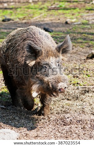 European wild boar - stock photo