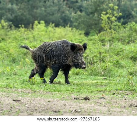 european wild boar - stock photo