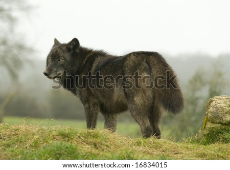 European Wolf looking over shoulder