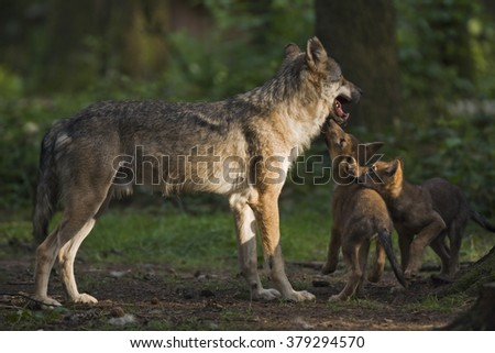 European wolf with pup