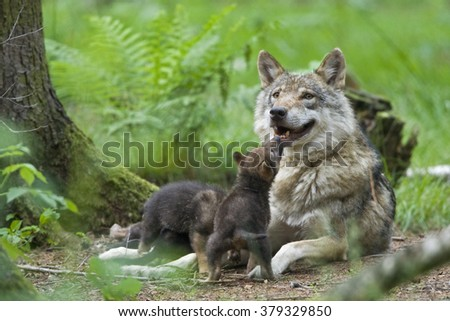 European wolf with pup - stock photo