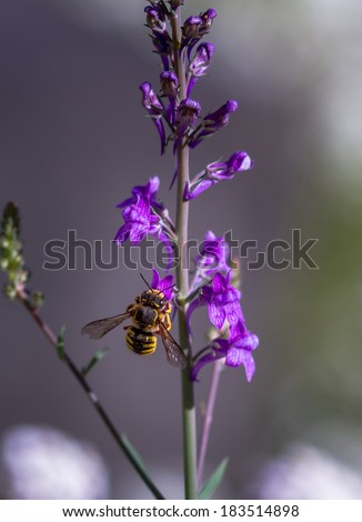 European Wool carder Bee (Anthidium manicatum)  collecting pollen from a purple flower with natural background