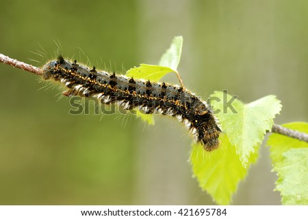 Euthrix potatoria, the drinker, is an orange-brown moth of the family Lasiocampidae. - stock photo