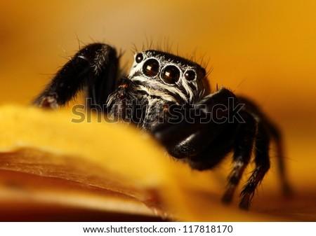 Evarcha arcuata jumping spider - stock photo