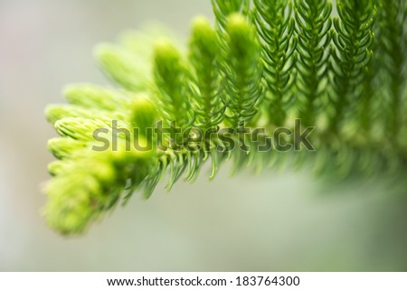 evengreen tree - Norfolk Pine macro ,Nature  - stock photo