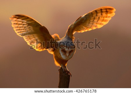 Evening light with bird with open wings. Action scene with owl. Owl sunset. Barn owl landing with spread wings on tree stump at the evening. Bird with orange evening light. Owl with orange sunset. - stock photo