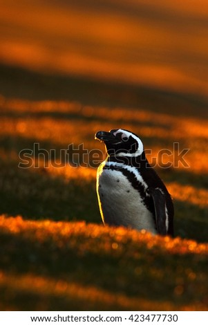Evening penguin scene in the orange sunset. Beautiful Magellan penguin with sun light. Penguin with evening light. Open penguin bill. Young with adult. Penguins in the nature. Antarctica - stock photo