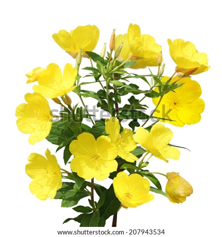 Evening Primrose (Oenothera) flower plant isolated on white background - stock photo