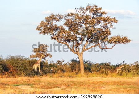 evening scenery including two giraffes at the Savuti Marsh area in the Chobe National Park in Botswana, Africa