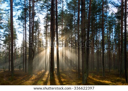 Evening sunlight in pines forest.