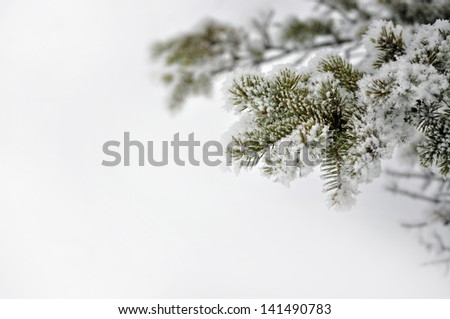 Evergreen branch covered with snow, (shallow depth of field) against a background of snow.