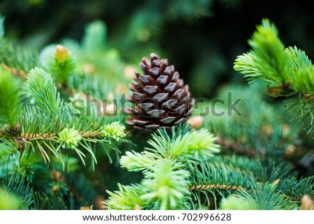 Evergreen branch of a tree and a lump on a branch