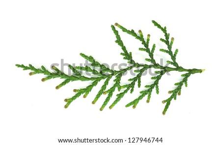 Evergreen branch white isolated. Studio shot - stock photo
