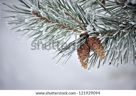 Evergreen branches with hoarfrost - stock photo