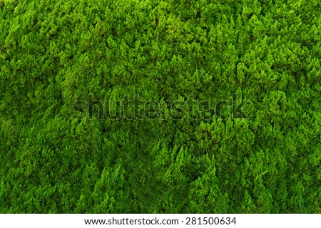 Evergreen conifer abstract background. - stock photo