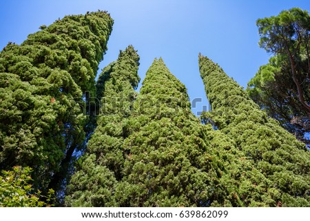 stock-photo-evergreen-cypresses-cupressu