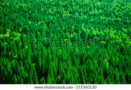 Evergreen fir tree background, bird eye view on fresh pine forest, beautiful abstract natural backdrop, beauty of wild nature  - stock photo