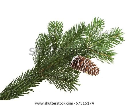 evergreen fir tree branch on white for design - stock photo