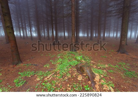 Evergreen forest in the fog after the rain - stock photo