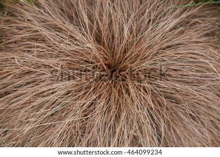 Evergreen mounding perennial grass reddish in color, a close up shot.
