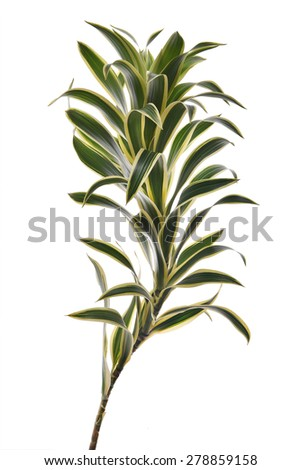 evergreen perennial flowering plants in the family Asparagaceae - stock photo