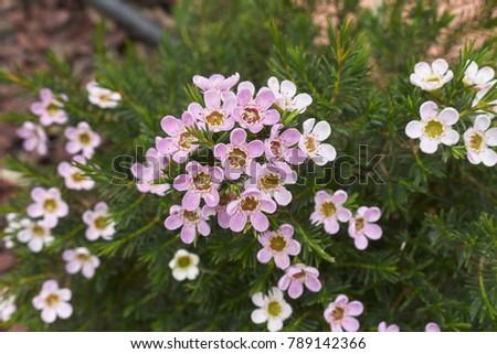 Evergreen shrub pink white flowers stock photo royalty free evergreen shrub with pink and white flowers mightylinksfo